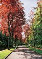 Blutahornbäume